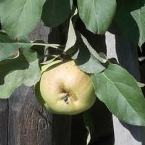 Яблоня во дворе гостевого дома